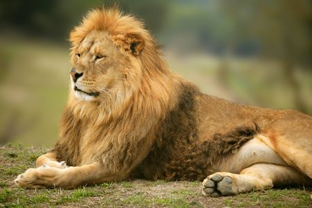 Beautiful Lion wild male animal portrait king of jungle photo