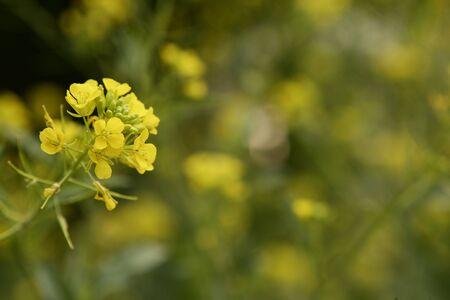 mustard plant: Mustard flower Sinapis Aiba yellow flowers and plant, nature