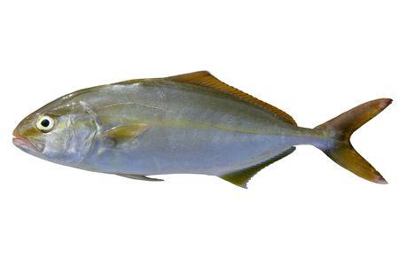 Seriola dumerili fish greater amberjack fish isolated on white photo