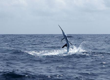 pez vela: Istiophorus agua saladas deporte saltando de pesca