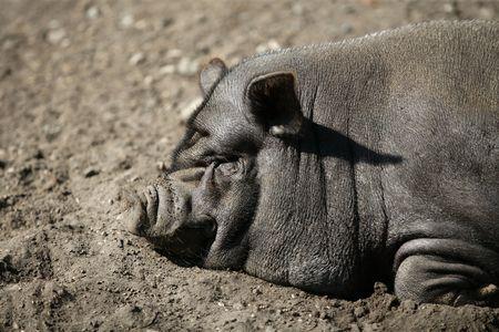 Vietnam pig portrait having a rest  photo