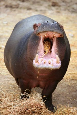 Hippo hippopotamus angry with the camera  photo