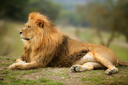 美しいジャングルの野生のオス動物肖像ライオンキング