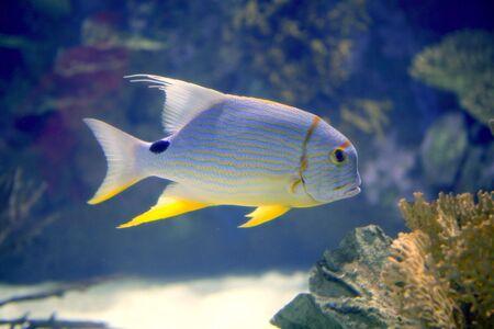 Brautiful tropical fish yellow fin from Red Sea photo