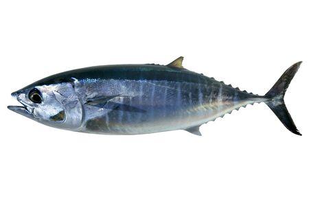 atun: At�n de aleta azul aislados en blanco Thunnus thynnus pescado de agua salada
