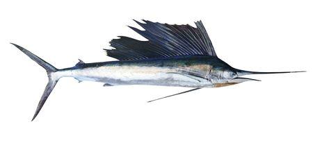 Sailfish real fish isolated on white marlin billfish