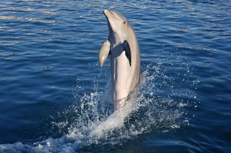 Dolphin acrobacy during dolphins show in Caribbean sea, nature photo