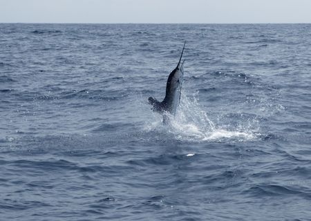 Sailfish saltwater sport fishing jumping  photo