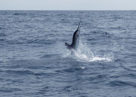 Zout water zeilvis sport vissen springen  Stockfoto