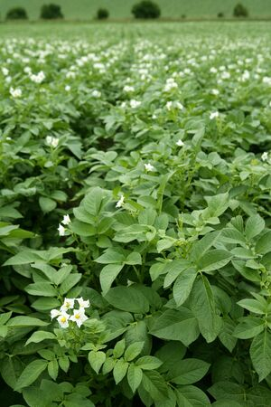 Green potatoes field in flowers on a summer afternoon Stock Photo - 6386008