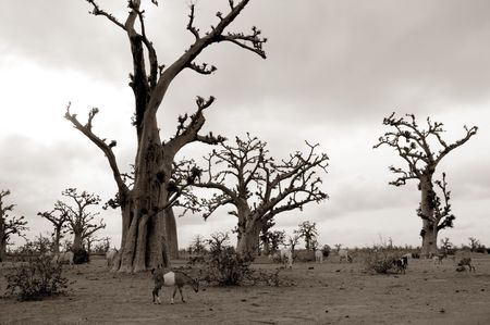 African Baobab tree on baobabs trees field on cloudy  day photo
