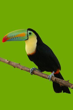 Kee billed Toucan Ramphastos sulfuratus colorful Tucan bird photo