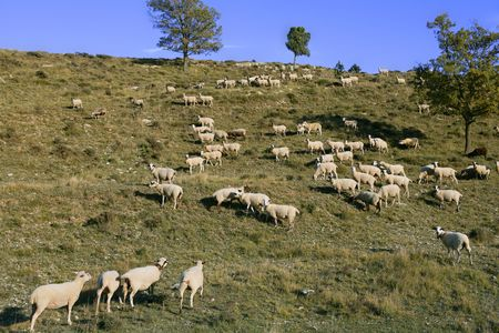 flock of sheep in mountain side in a sunny  day photo