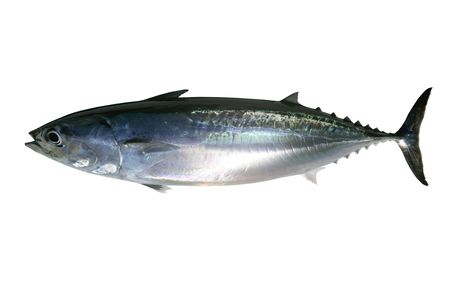 Auxis thazard saltwater frigate tuna fish isolated on white photo