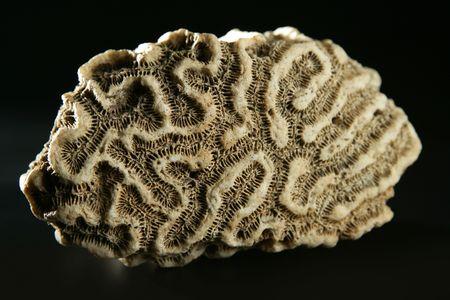 Brain coral stone macro detail closeup  studio shot Stock Photo - 6475701
