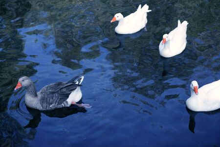 Ducks in white and gray over blue lake bird  photo