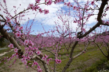 Almond flower trees field in spring season pink white flowers photo