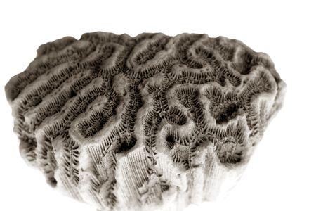 Brain coral stone macro detail closeup  studio shot photo