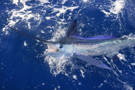 sailfish: Beautiful white marlin real bill fish on atlantic water sport fishing