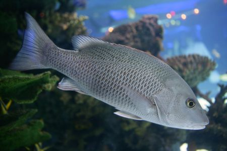 saltwater: Beautiful Snapper saltwater fish with gray scales swimming Stock Photo