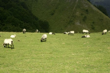 Green meadow with Pyrenees sheeps grass landscape photo