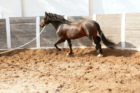 arenas: Dressage horse in round arenas with rope, running