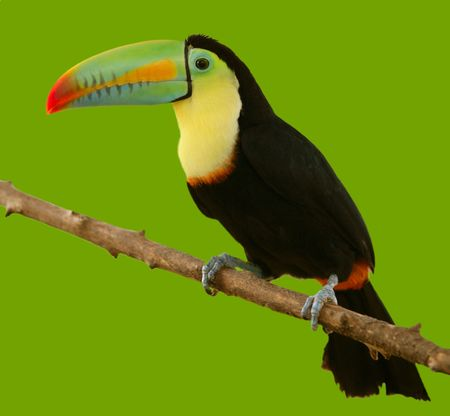 south american toucan colorful bird on green background photo