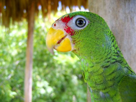 cotorra parrot green from Central America Mexico jungle photo
