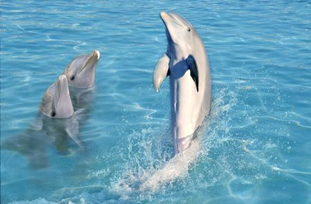 dolphins: dolphin show in caribbean tuquoise water swimming stand