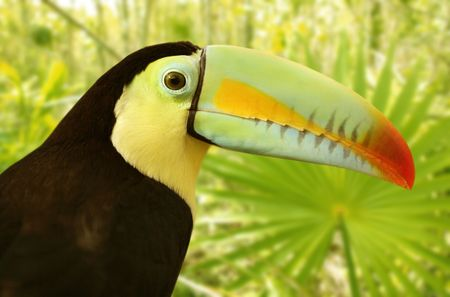 billed: toucan kee billed Tamphastos sulfuratus on the jungle
