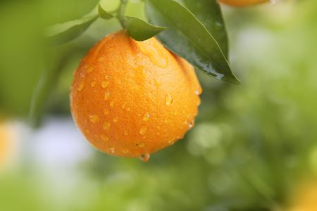 mandarin orange: orange fruit hanging  tree fresh water drops