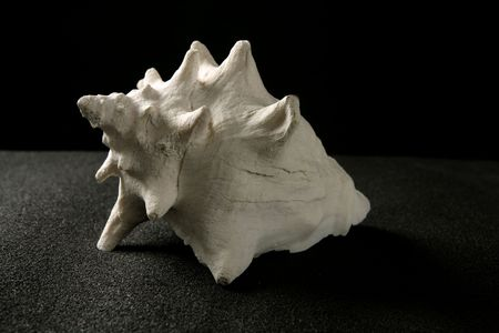 Conch sea snail white shell black background Stock Photo - 6846597