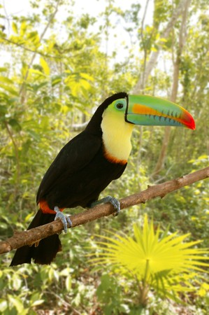 toucan kee billed Tamphastos sulfuratus on the jungle Stock Photo - 6985578