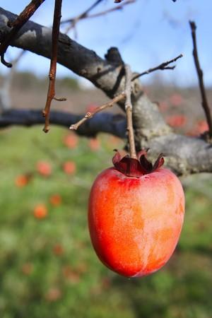 persimmon: frutos de caqui sobre la agricultura de campo de �rboles  Foto de archivo