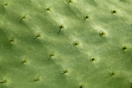 prickly pear: prickly pear cactus nopal detail  Mediterranean area