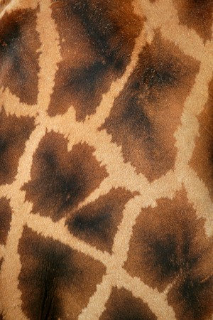Giraffe real skin background pattern texture Stock Photo - 7057894