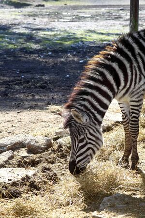 Zebra eating profile neck and head side  photo