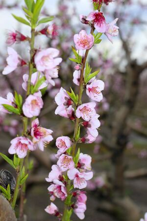almond spring flowers on tree branch in mediterranean field photo