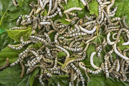 silkworms eating mulberry leaf closeup nature silk worms photo