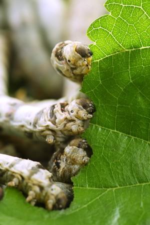 morera: comer Morera hoja portarretrato naturaleza gusanos de seda de gusanos de seda
