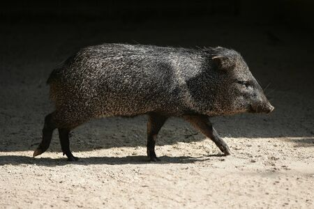 between: Little Pecari pig walking between sun  shadows Stock Photo