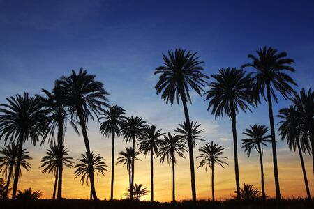 palm: palm trees sunset golden blue sky backlight in mediterranean Stock Photo