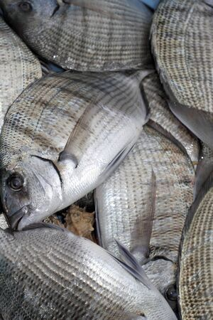 Diplodus Sargus white seabream bream blacktail mediterranean fish Stock Photo - 7226804