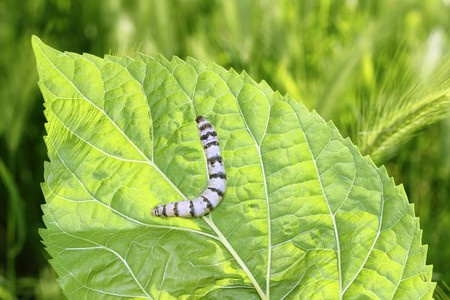 ringed: silkworm ringed silk worm eating mulberry green leaf
