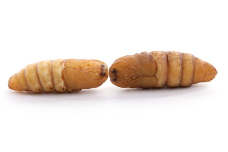 silkworm: chrysalis silkworm on white background silk worm