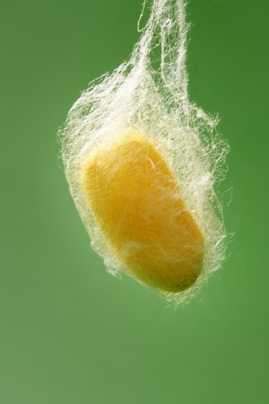 sericulture: cocoon of silkworm hanging on silk worm net green background