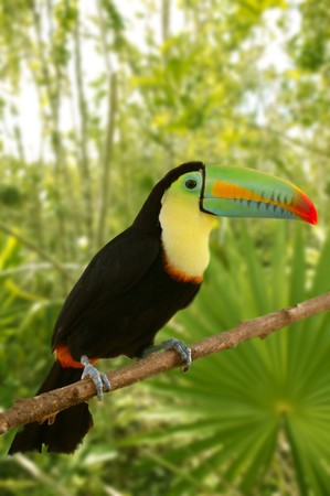 toucan kee billed Tamphastos sulfuratus on the jungle photo