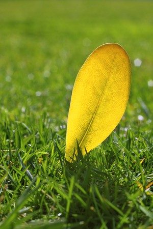 yellow autumn fall leaf on garden green grass lawn vivid seasonal colors photo