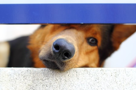 sad dog: alone sad dog muzzle portrait looking little balcony window hole