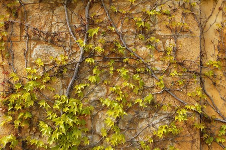 Autumn climbing plant wall texture background in warm fall colors photo
